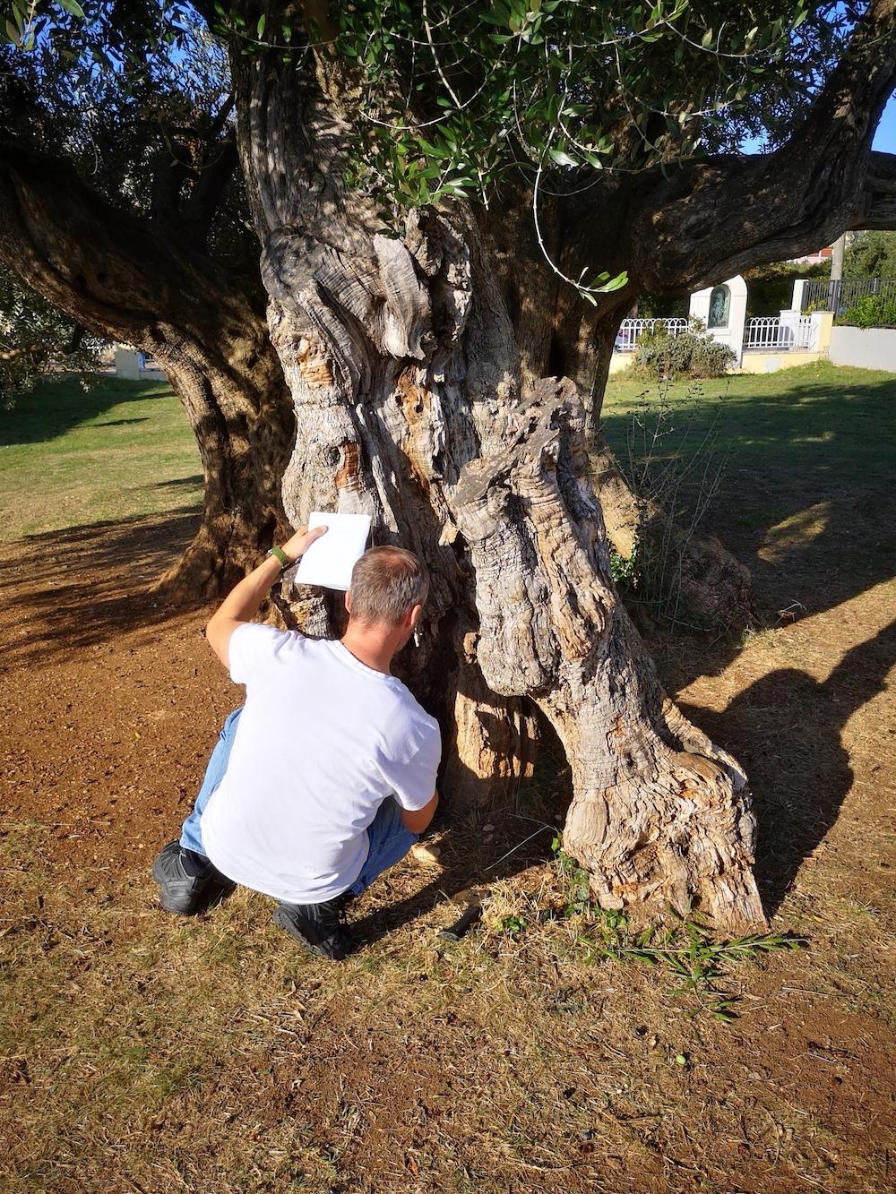 Stara stabla u Kaštelima