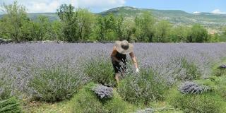 Uzgajaju lavandu u Sinjskoj krajini!