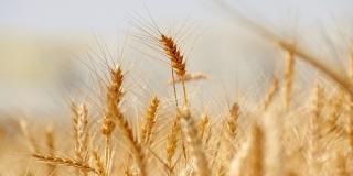 Počela žetva ranih usjeva pšenice