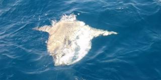 Ribari kod Rogoznice uhvatili ribu težu od 250 kilograma i pustili je u more