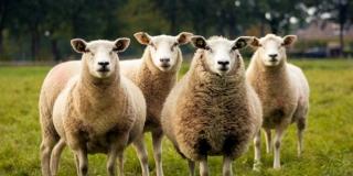 Grom na Braču usmrtio cijelo stado ovaca!