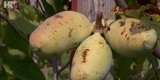 PAW-PAW Azijsku i afričku uskoro bi u Hrvatskoj mogla istisnuti indijanska banana