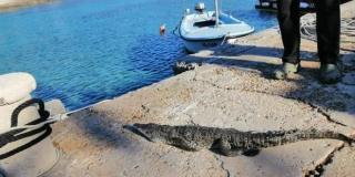 Viški krokodil prenoćit će u hladnjači na groblju, a sutra ide u – Split!
