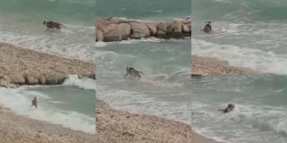 RAJ ZA PSE NA PUSTOM ŽNJANU Staford uživa na južini u moru