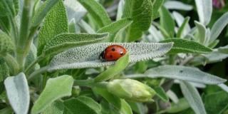 Eterična ulja iz grčkog bilja mogla bi pružiti zaštitu od covida-19