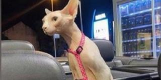 IZGUBLJENA U SPLITU Vlasnici mačke nude nagradu nalazniku