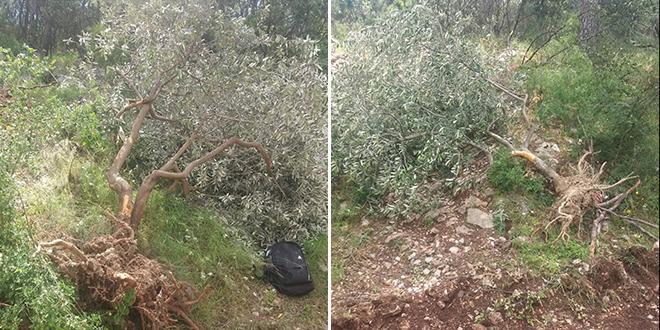 Borba protiv potkornjaka: Iščupane masline na Marjanu