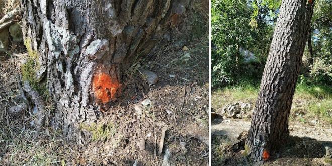 DRUŠTVO MARJAN Jasno se vidi da su stabla za sječu nepropisno doznačena