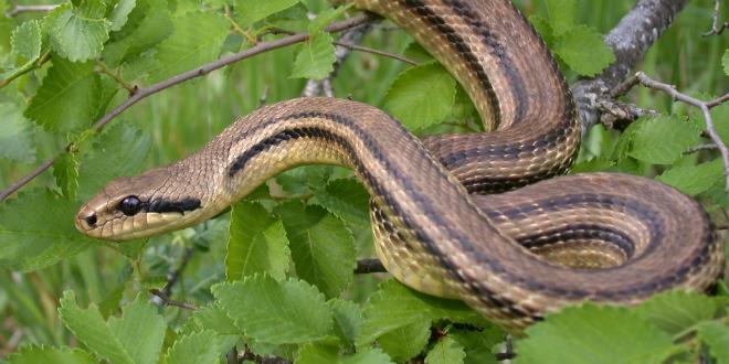 VATROGASCI U kući u Klisu uhvatili zmiju