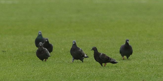VIDEO: Jatu golubova se omililo na Poljudu