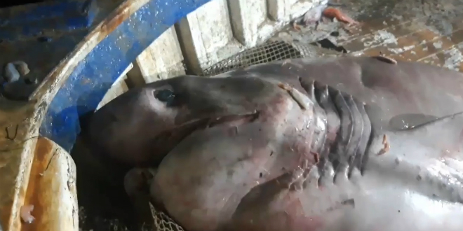 IZ MORSKIH DUBINA Ribari kod Rogoznice ulovili morskog psa težeg od pola tone!