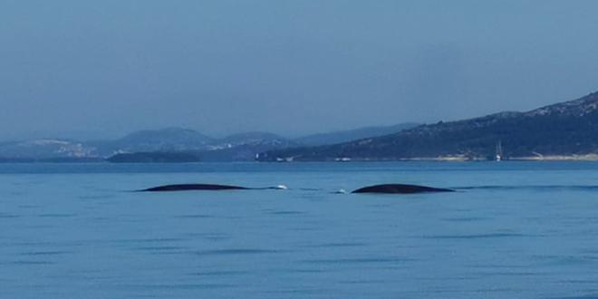 VIDEO: Splićani danas snimili kitove, pogledajte prekrasne prizore s pučine!