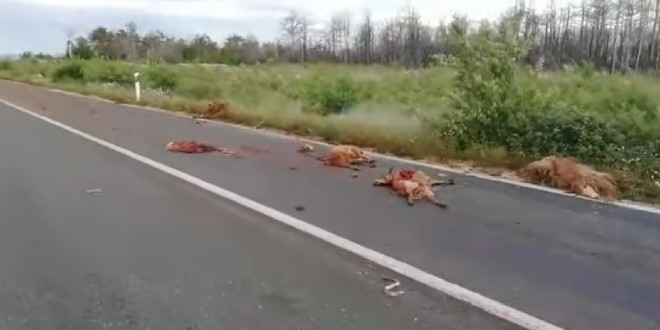 Automobilom na Prpuši pobio stado ovaca
