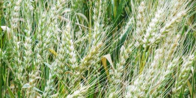 Bayer mora platiti 11 milijardi odštete zbog herbicida koji izaziva rak