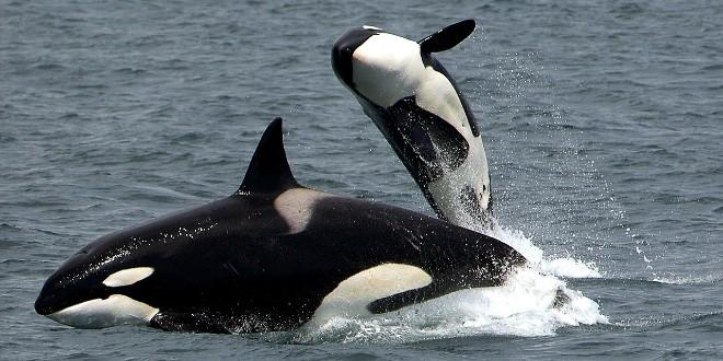NISU POMOGLI NAPORI STOTINE LJUDI Uginuo mladi kit ubojica koji se nasukao na Novom Zelandu