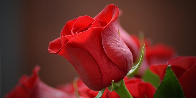 COCCOLO ZA ZALJUBLJENE Trogirski restoran na Valentinovo daruje ružu i vino!