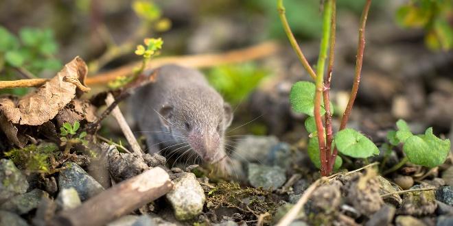 Veliki pomor miševa kod Rijeke, ljudi ih nalaze svugdje