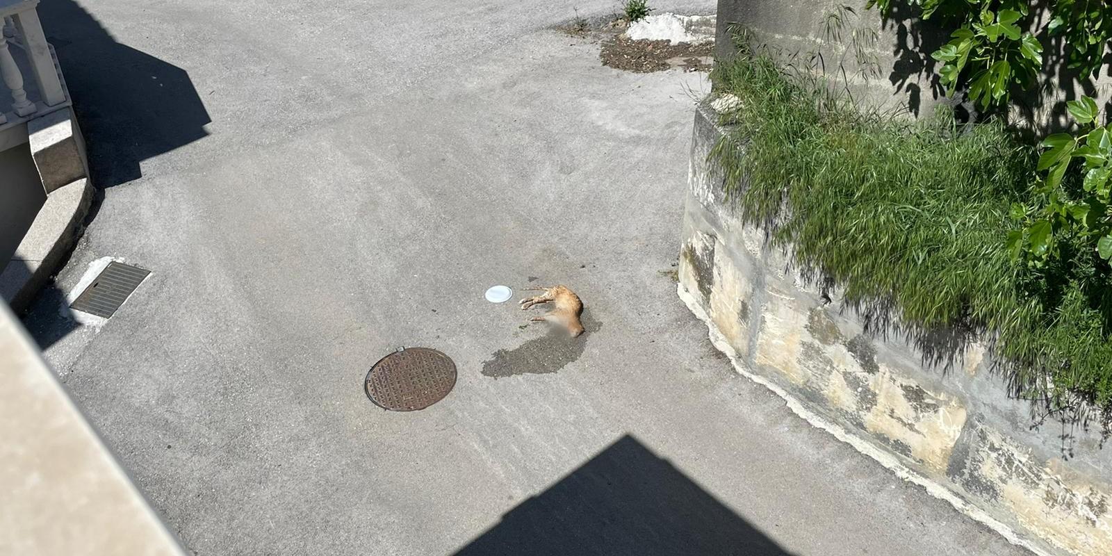 FOTO/VIDEO Potresni prizori sa splitskih ulica: Sve je više zgaženih mačaka, neke su i namjerno ubijene