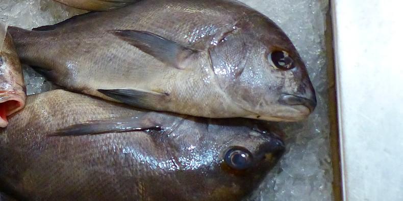 MORSKI VEPAR Riba s Kanara se našla u mrežama jadranskih ribara