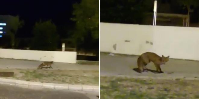 NEVJEROJATAN VIDEO Lisica snimljena kraj bolnice Križine!