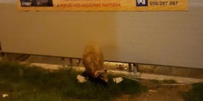 NEVJEROJATNO Zavezali ovcu kod autobusne stanice u Splitu